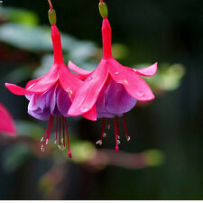 Scharlach-Fuchsie - 20 Samen-seeds -  Fuchsia Magellanica - winterhart Hardy#