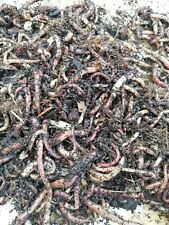 Würmer Dendrobena//Rotwürmer Mix = 1kg inklusive Kostenlosen Versand!