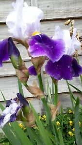 2x Two Tone Blue Bearded Iris Bare Root Fan, sold for charity