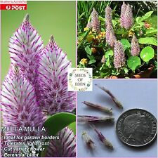 15 PINK MULLA MULLA SEEDS(Ptilotus exaltatus); Beautiful Feature Plant