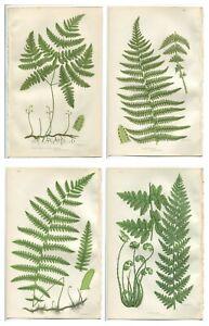 Lot of 4 Original Antique Victorian PRATT Fern Prints Botanical c1870 - PF8