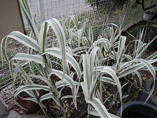 Arundo donax variegata versicolor 3 rejets superbes BAMBOU blanc/vert pâle