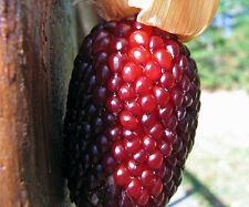 corn, STRAWBERRY POPCORN, novelty, 55 seeds! GroCo