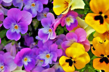200/400 Seeds Pansy Winter Varied Flower Rustic Fullblooded Mint