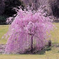 Japanische Kirschblüte Sakura Bonsai Kirschblüten 20 Samen Seeds Rarität