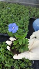Blue Daisy Aster Live Plants~Wild Perennnial Blue Flowers~5 to 7 inches tall