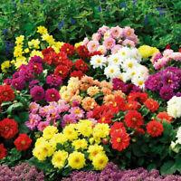 50 Dahlia Flower Seeds Rare Mixed Multicolor Bonsai Plant Decor in Garden Home