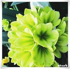 Flower Seeds Clivia Miniata Seed 100PCS Bonsai Bush Lily Plant Bonsai Rare Seeds