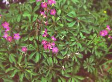 Oxalis Lasiandra 1-Flower size bulb Winter hardy Clover bulb