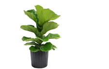Live Ficus Pandurata Bush Farm Fresh Fig Tree House Plant Pot Fiddle Leaf Decor