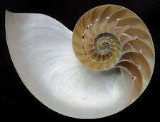* Coquillage 1/2 Nautile Naturel, A l'unité, 15cm à 16cm,