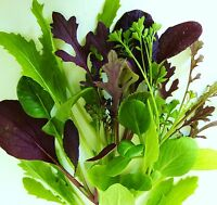 MESCLUN - TANGY LEAF MIX [salad leaves] - 1200 Seeds [spicy, colourful mixture]