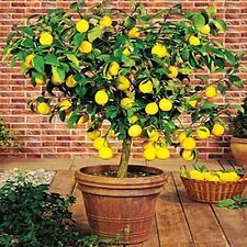 Japanese Bonsai Lemon Tree 20 Seeds Local Farmer Cute Adorable Lemon Tree Fruit