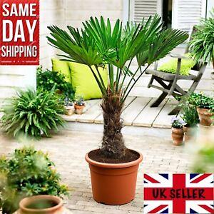 Windmill Palm Trachycarpus Fortunei 20 FRESH seeds. Cold Hardy Same Day Dispatch