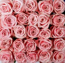 "Fresh Cut Pink Roses / 100 stems / 20"" tall / Grower Direct / Quality Guaranteed"