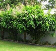 TIGER GRASS Thysanolaena maxima fast-growing tropical plant in 165mm pot