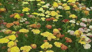 Achillea millefolium Summer Pastels seeds - approx. 120 seeds