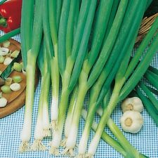 Cebolla-Ishikura - 300 Semillas