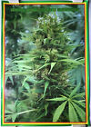 Save The Brain Forest OOP Rare Marijuana Poster