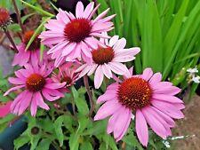 Echinacea 'Purpurea' X 6 Jumbo Plug Plants Hardy Perennial 'Coneflower'
