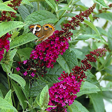 """Buddleia x Miss Molly Butterfly Bush Plant - Live Houseplant Growing in 4"""" pot"""