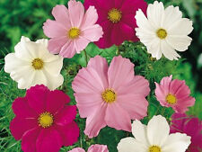 COSMOS Sensation Mix 50 seeds flower garden HEIRLOOM