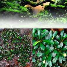 1000 Bucephalandra Pygmaea Seed Live Aquatic Plant Stem Water Aquarium Grass Set