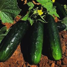 50 Seeds Spacemaster Bush Cucumber  new seeds for 2017 Non-GMO Heirloom Seeds