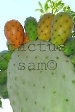 50 Orange Fruit Opuntia ficus indica Seeds Prickly Pear Paddle Cactus Tuna Nopal