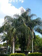Queen Palm Cocos   Plumosa Syagrus romanzoffiana   250 Seeds
