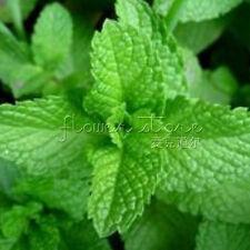 400  Mint Herb Seeds  Rare Organic Herb  Medical AromaTT224