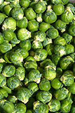 brussel sprouts, BRUSSELLS SPROUT, 65 SEEDS! GroCo