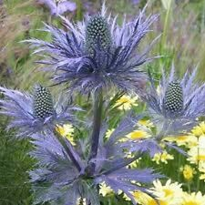 30+ Eryginum  Blue Sea Holly Seeds   / Fast Growing / Grows Anywhere / Perennial