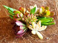 Succulent Five Assorted  Succulent Plant Cuttings + Free x2 Pots