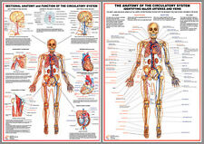 CIRCULATORY SYSTEM Anatomy Professional Fitness Wall Charts 2 Poster Set