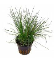 Eleocharis acicularis pianta per acquario d'acqua dolce a crescita media
