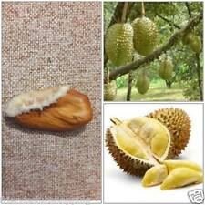 Durian Seed Thai Fruits Taste Is Heavenly. Fresh Ready Sow Viable Seed Free Ship
