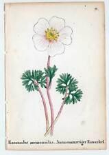 Alpenpflanzen-Ranunkel-Ranunculus-Litho 1856 Blume