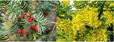 50 x Mixed tree seeds 25 x Common Laburnum seeds & 25 x English Yew seeds.