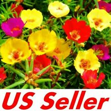 500 Seeds Moss Rose (Portulaca Grandiflora) Mixed Colors B114 Ground Cover