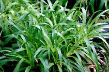 20 Luzula sylvatica Native wildflower Hardy Evergreen Groundcover shade grass