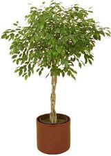 FICUS TREE Bodhi Sacred Fig Ficus Religiosa 5 Seeds