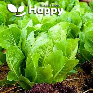 VEGETABLE - ROMAINE LETTUCE - 1000 SEEDS - WHITE DUNSEL - Cos lettuce