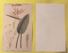 Ancienne Planche Botanique Poster art print Image  PL.16 Oiseaux de paradis