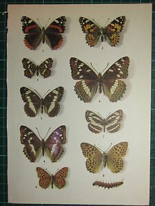 VINTAGE NATURAL HISTORY PRINT ~ BUTTERFLIES BUTTERFLY VARIOUS RED ADMIRAL