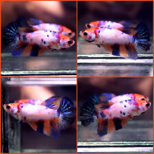 New listing Live Betta Fish Fancy Dragon Nemo Blue Marble Halfmoon Hm Female C438