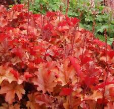 Heuchera x Hybrida 'Peach Flambre' Perennial Large Garden Plug Plants Pack x6