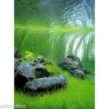 Giant Hairgrass Eleocharis Vivipara Bunch Live Aquarium Plants BUY2GET1FREE*