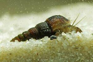 Escargot aquarium mélanoide 10 escargots plus 3 gratuit !