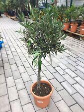 Olea Europaea Olivenbaum Hochstamm +/-100cm Olive Oliven Stamm Stämmchen